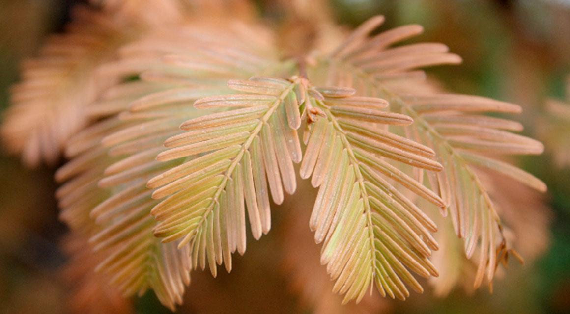 Een coniferenhaag op natte grond