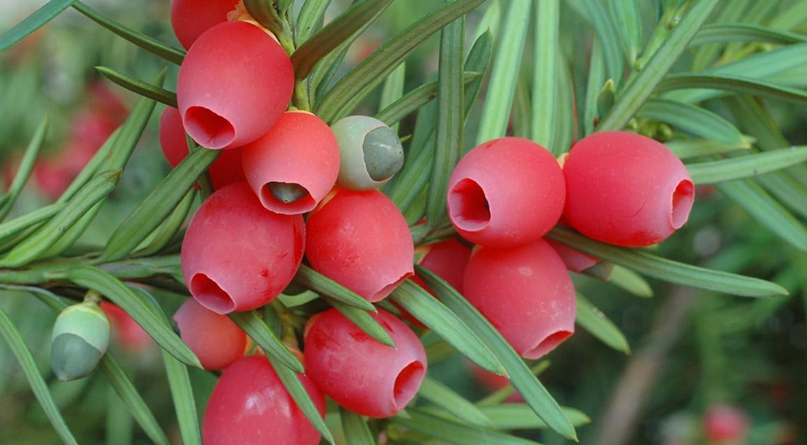 Die Eibe ist die einzige Konifere mit dekorativen Früchten