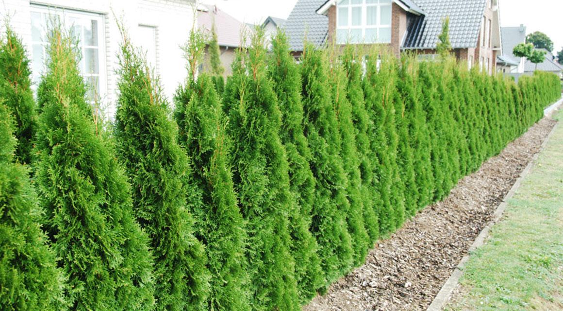 Eine hübsche Hecke in Ihrem Garten mit der Thuja 'Smaragd'