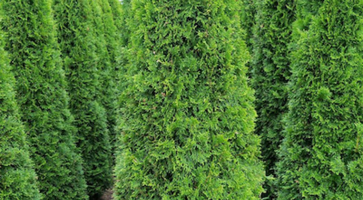 Garten-Modell passt die Thuja occidentalis 'Smaragd'
