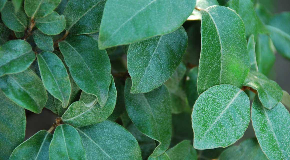 Gemengde haag bladhoudende haagplanten