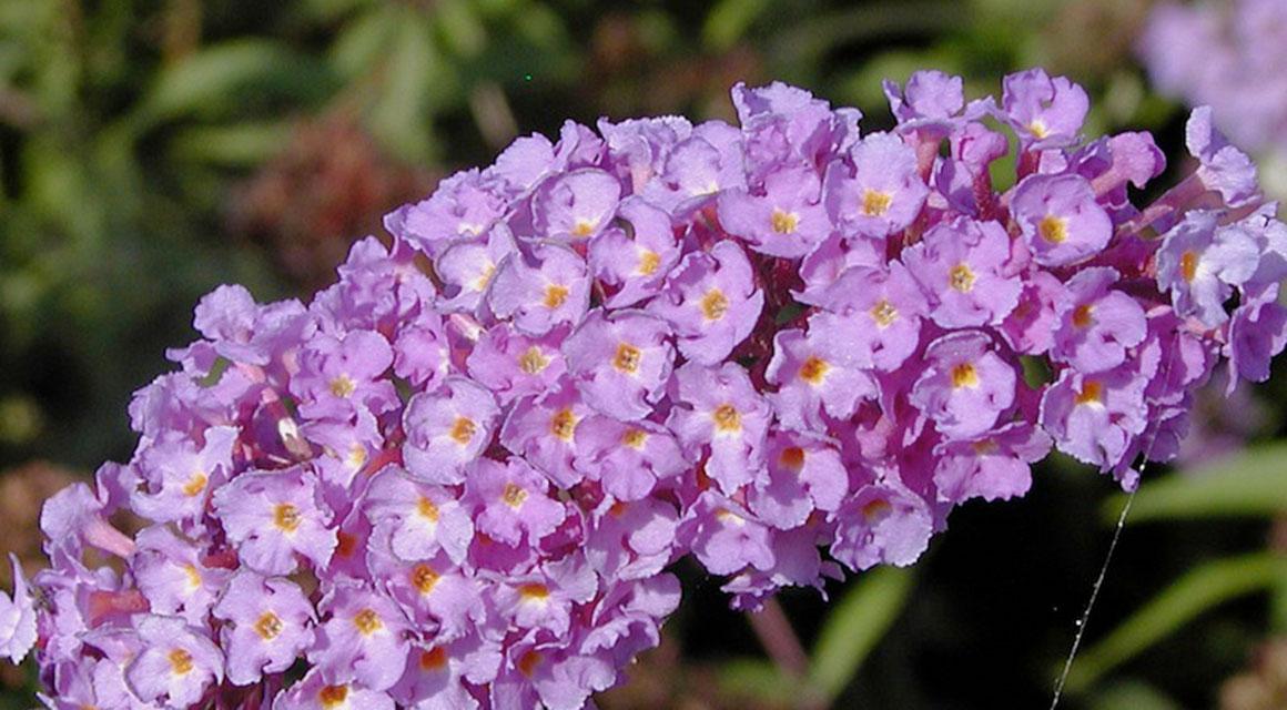 Geuren en kleuren: de vlinderstruik