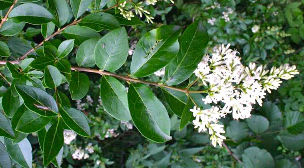 Gewone liguster (Ligustrum vulgare)