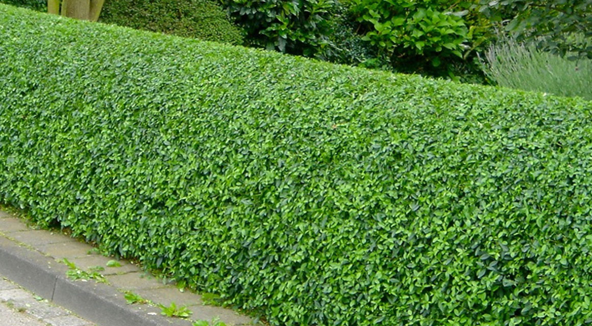 Zusätzliche Hinweise über giftige Heckenpflanzen