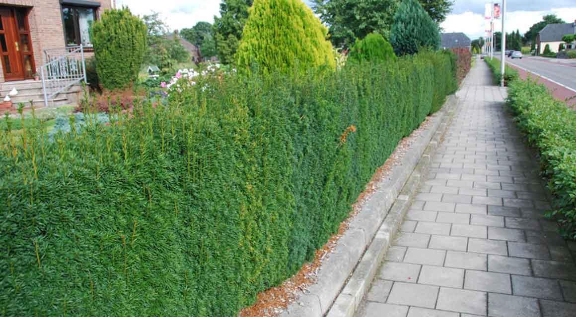 Een groepje taxusbomen planten
