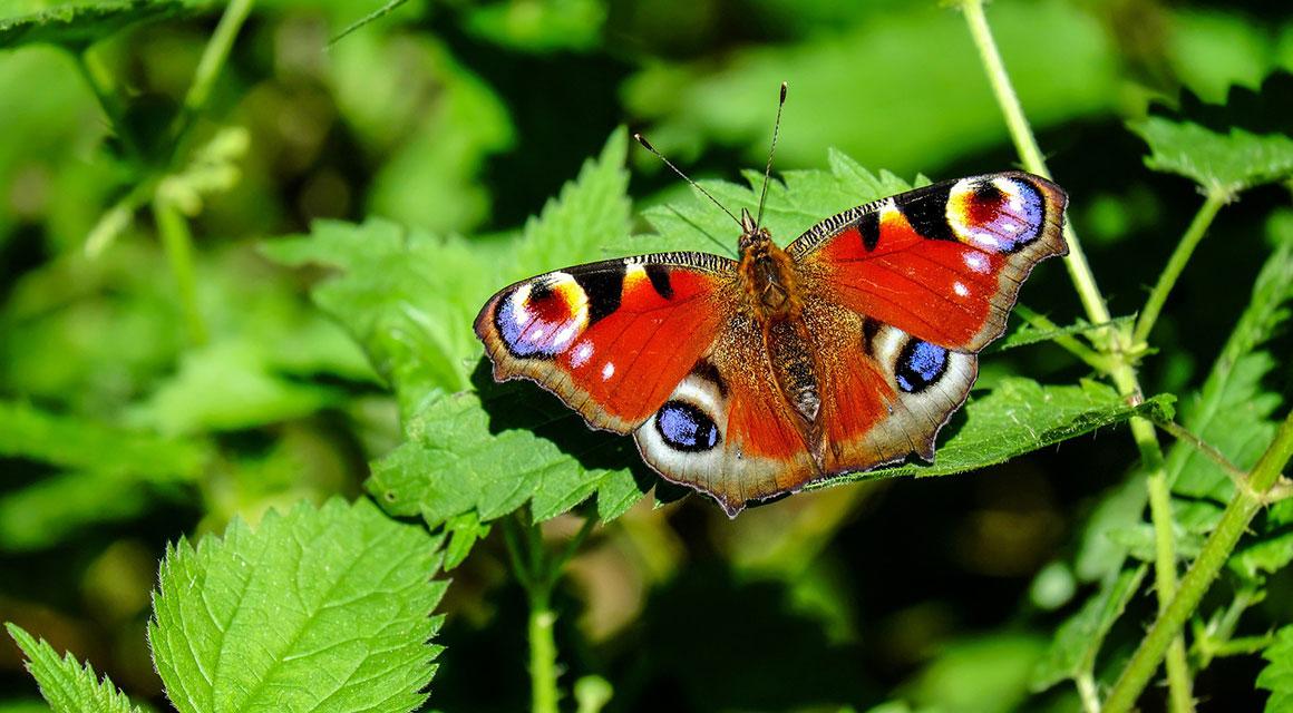 Haag voor vogels, vlinders en insecten