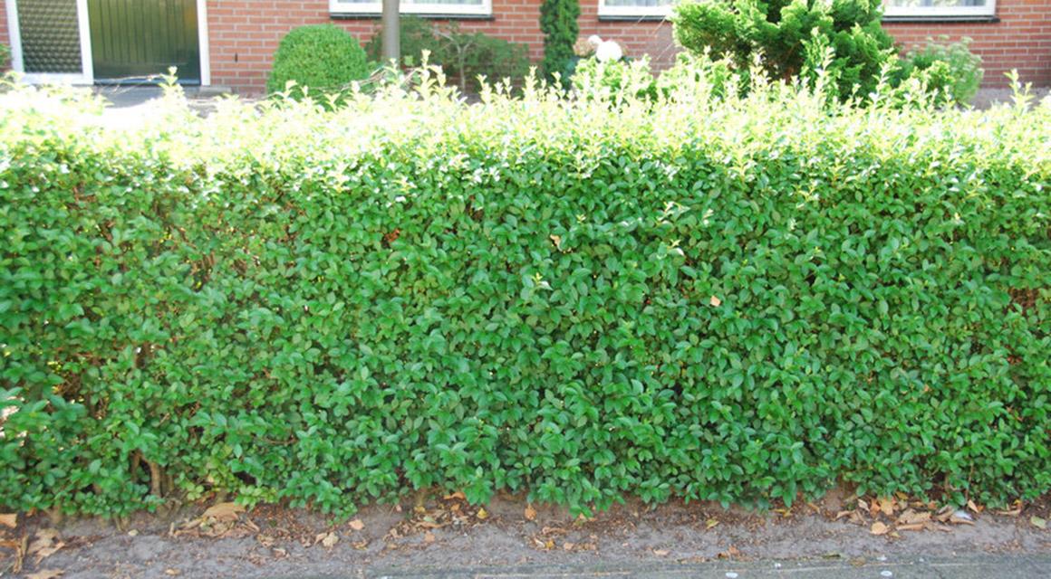 Haagliguster (Ligustrum ovafolium)