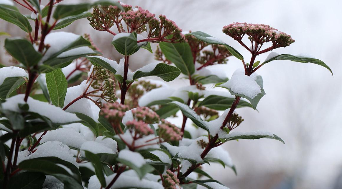 Haagplanten met bijzondere bloeiperiodes