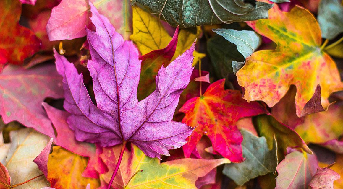 Haagplanten met mooie herfstkleuren
