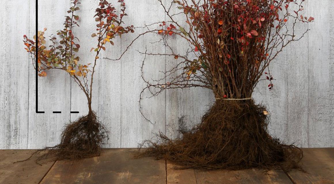 Haagplanten met blote wortel