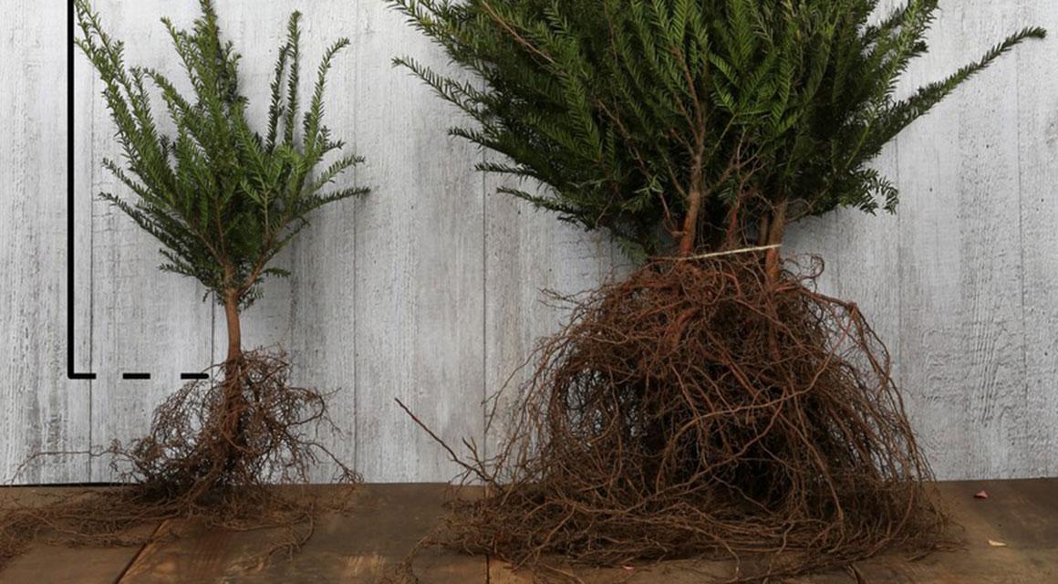 Haagplanten met blote wortels verzorgen
