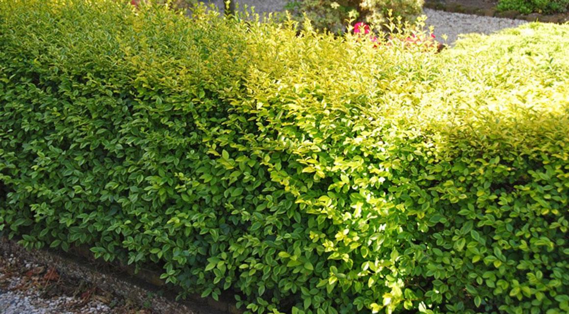 Welke haagplanten bij een kleine tuin?