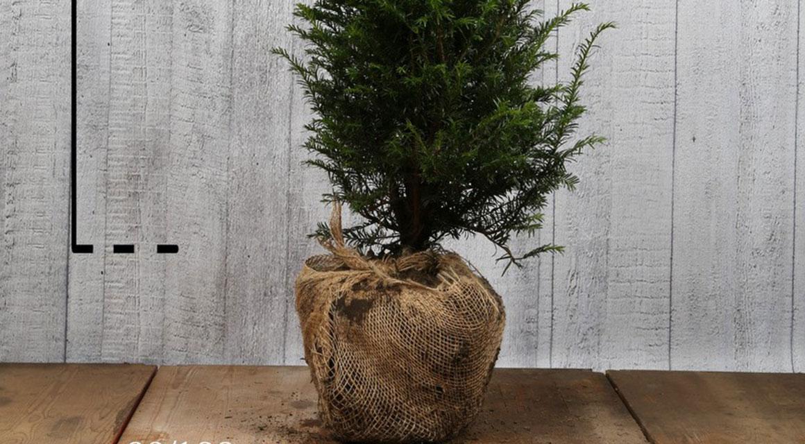 Haagplanten met kluit verzorgen