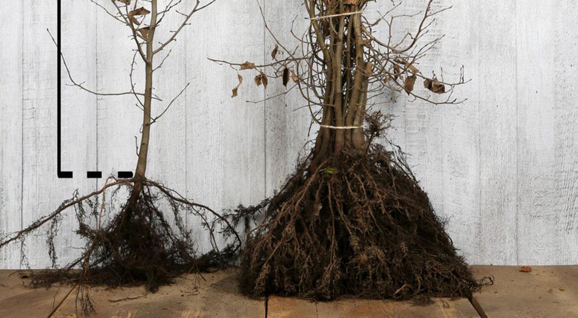 Haagplanten uit koelcel online kopen
