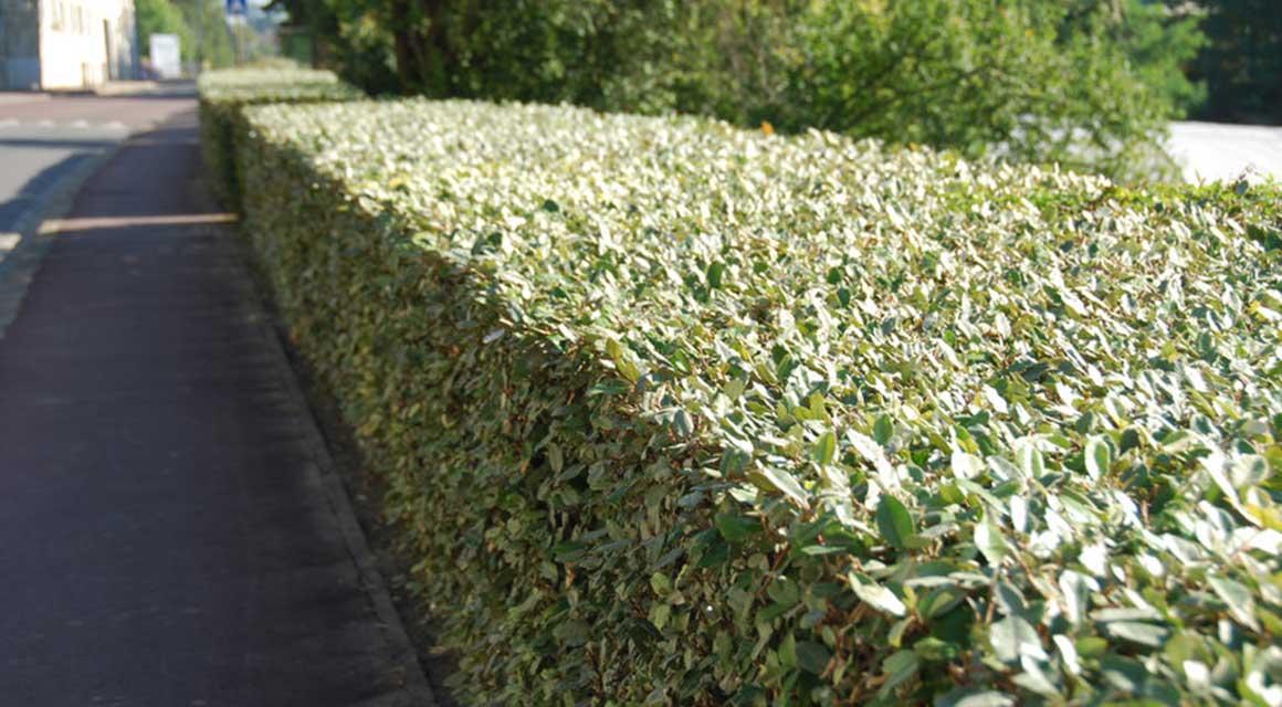Haagplanten voor kustgebieden olijfwilg zilverbes