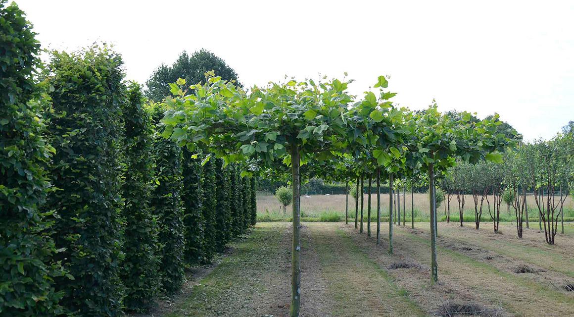 Welke haagplanten worden gebruikt voor leibomen?