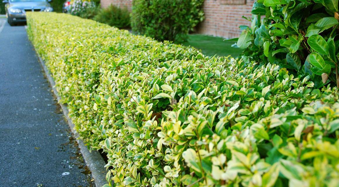 Welke haagplanten zijn makkelijk te verjongen?