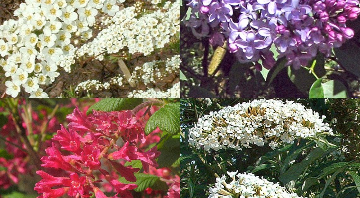Haagplanten voor de natuurlijke tuin kopen