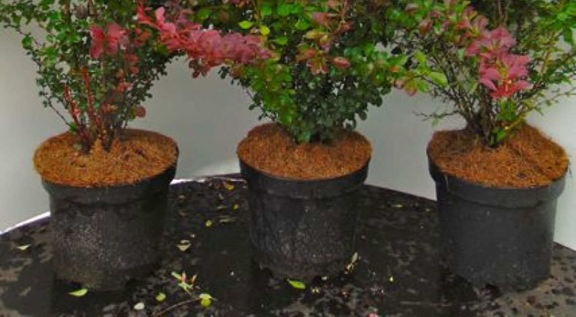 Haagplanten in pot
