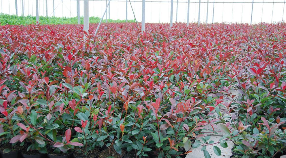 Haagplanten met rode bladeren kopen