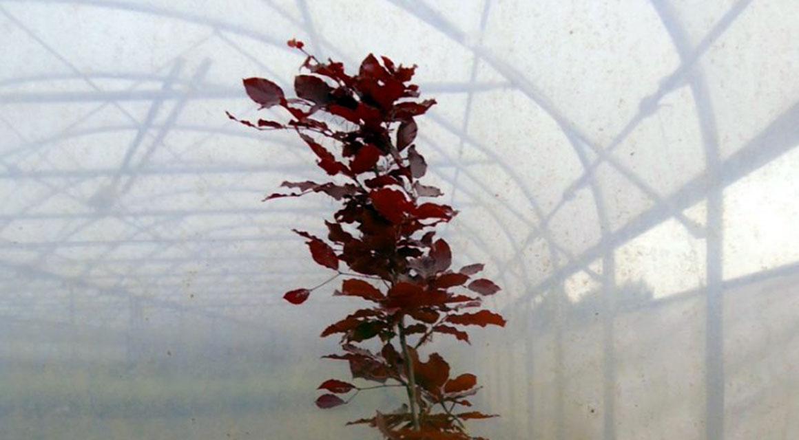 Waarom kiezen voor haagplanten met rode bladeren?