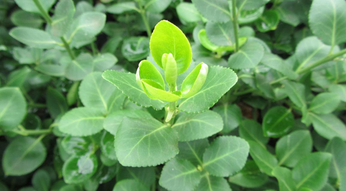 Andere haagplanten voor vormsnoei