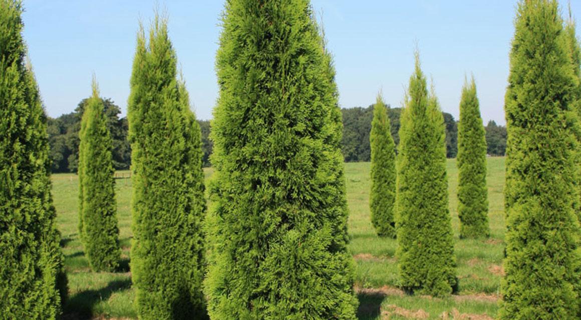 Was für eine Heckenpflanze ist die Thuja 'Smaragd'?