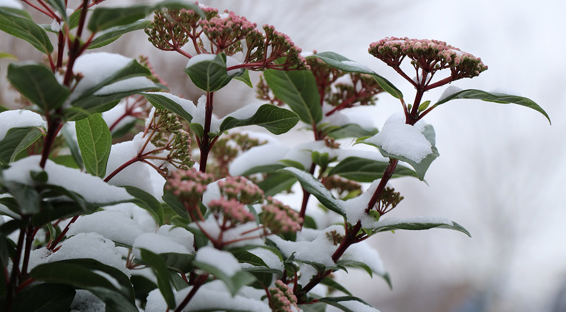 Heckenpflanzen mit besonderen Blütezeiten