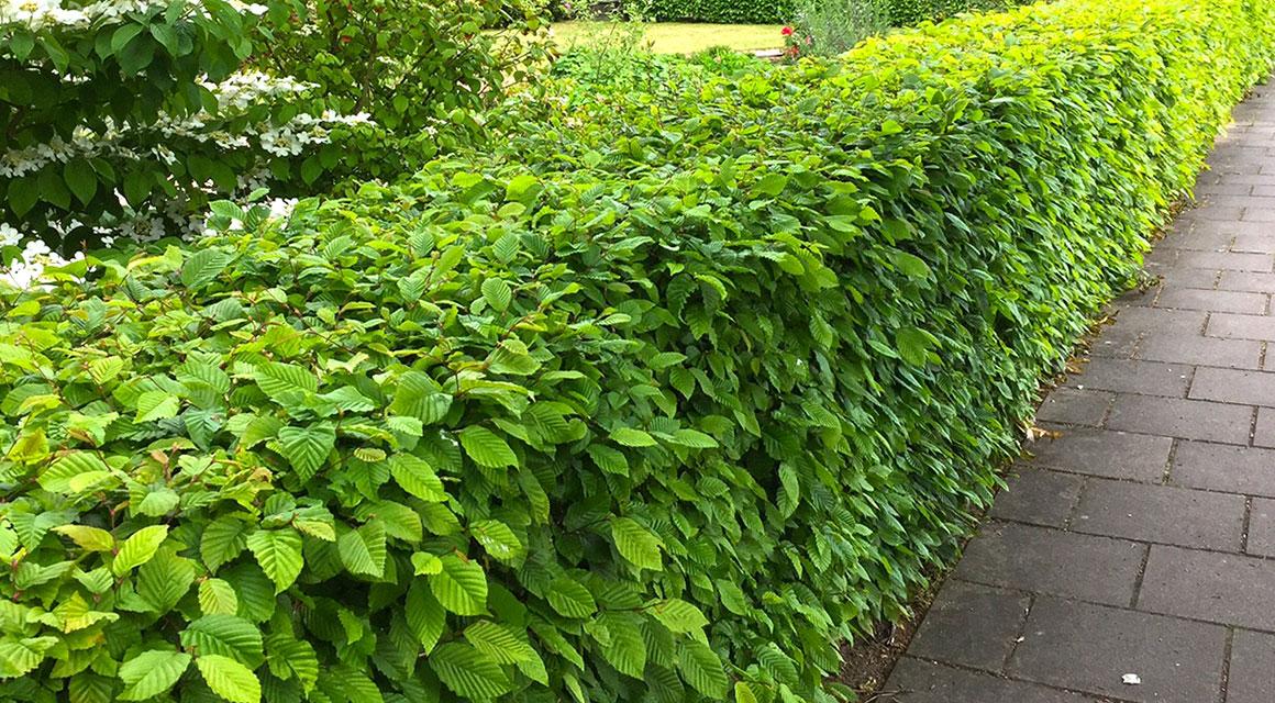 Heckenpflanzen für mittlere Gärten