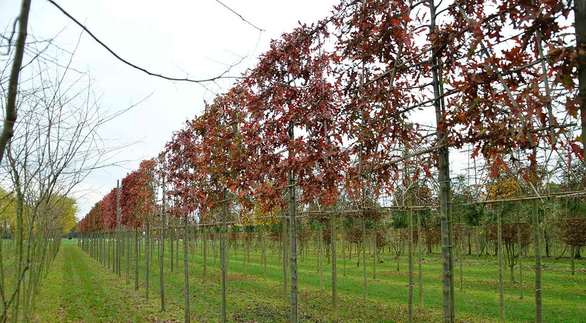 Heckenpflanzen mit schönen Herbstfarben online kaufen
