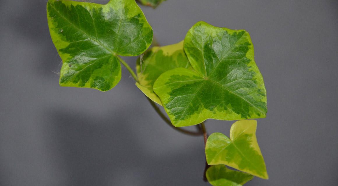 Die Hedera ist eine einfache, robuste Heckenpflanze