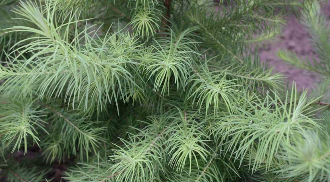 Herfstkleur watercipres Japanse lariks