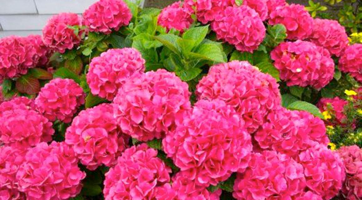 Hortensia als haagplant kopen