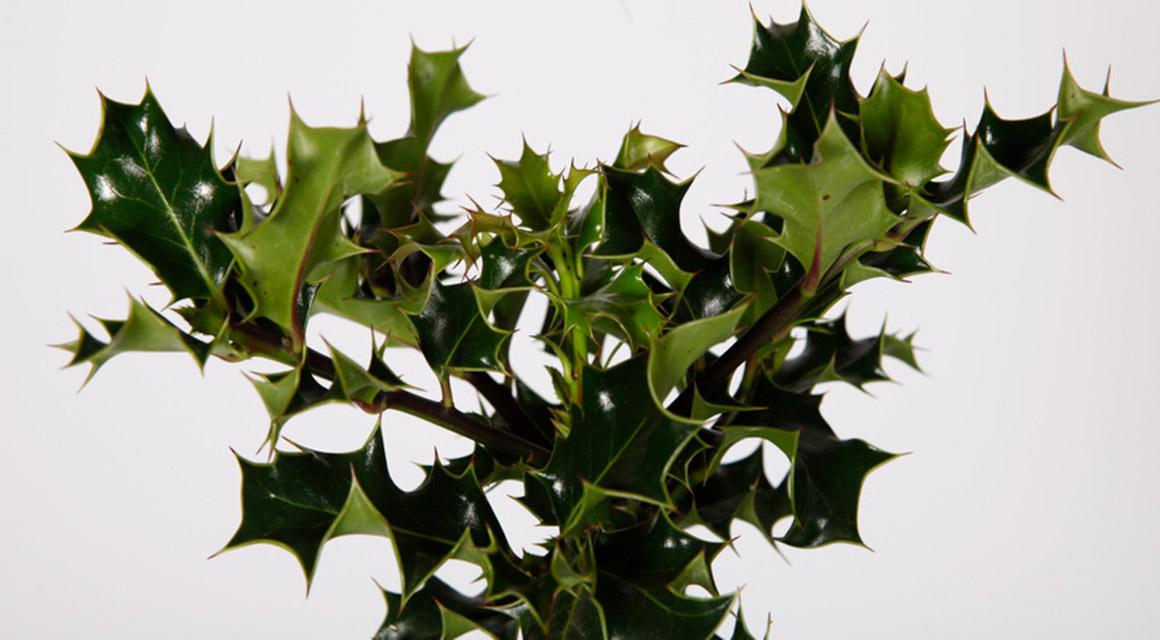 De klassieke haagplanten