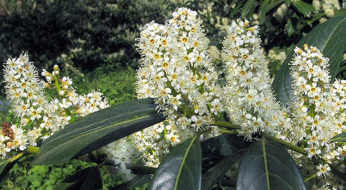 immergrüne Heckenpflanzen Laurier 'Herbergii'