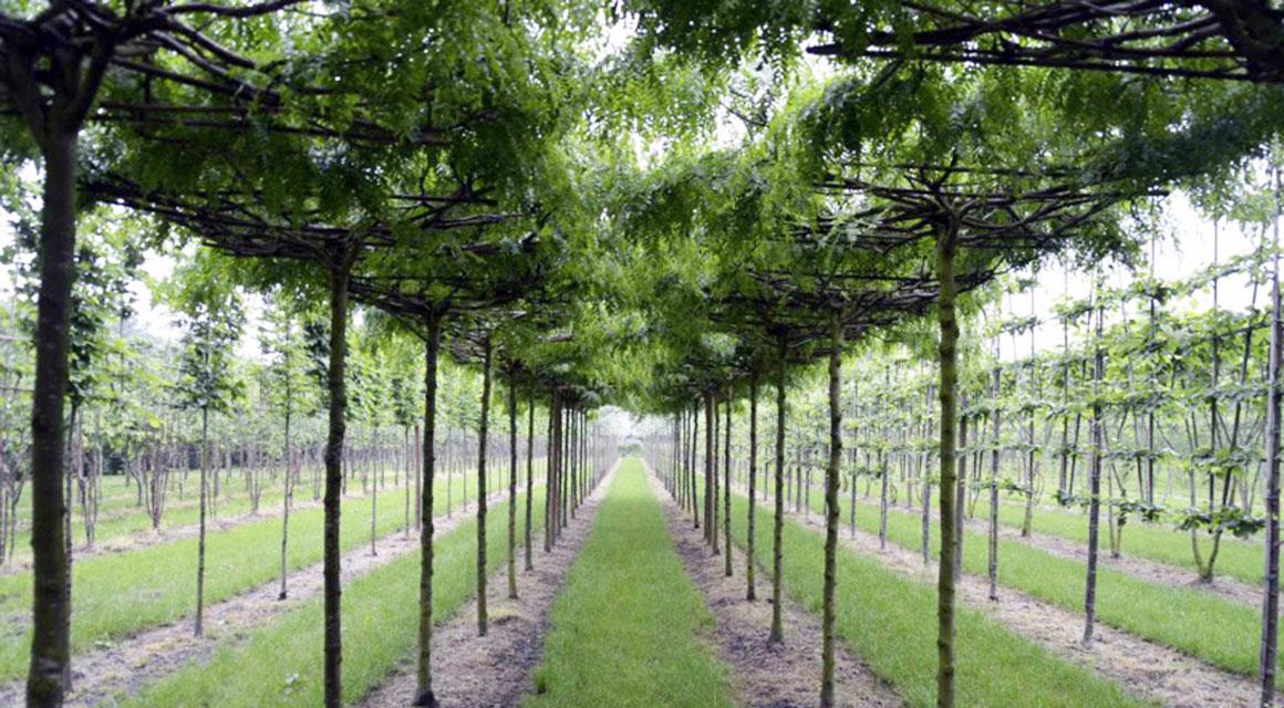 Allgemeine Informationen über Spalierbäume