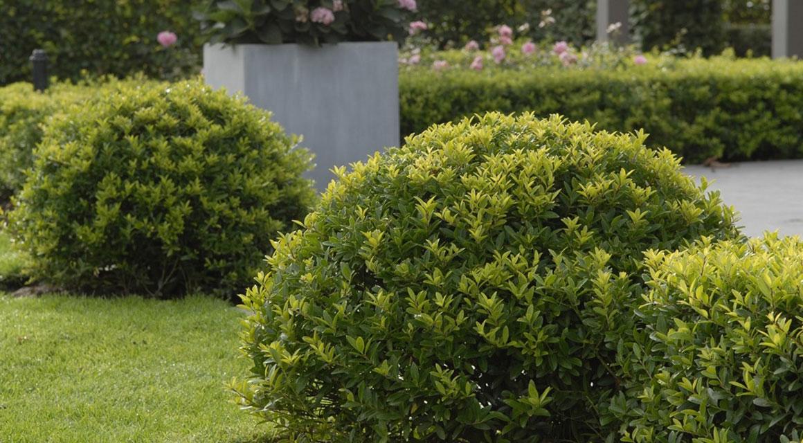 Japanische Stechpalme: der beste Buchsbaum-Ersatz