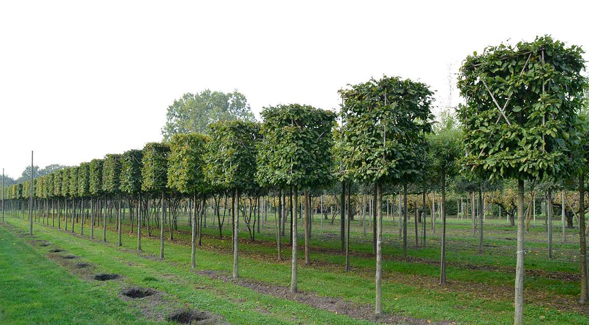 Leibomen en vormbomen online bestellen