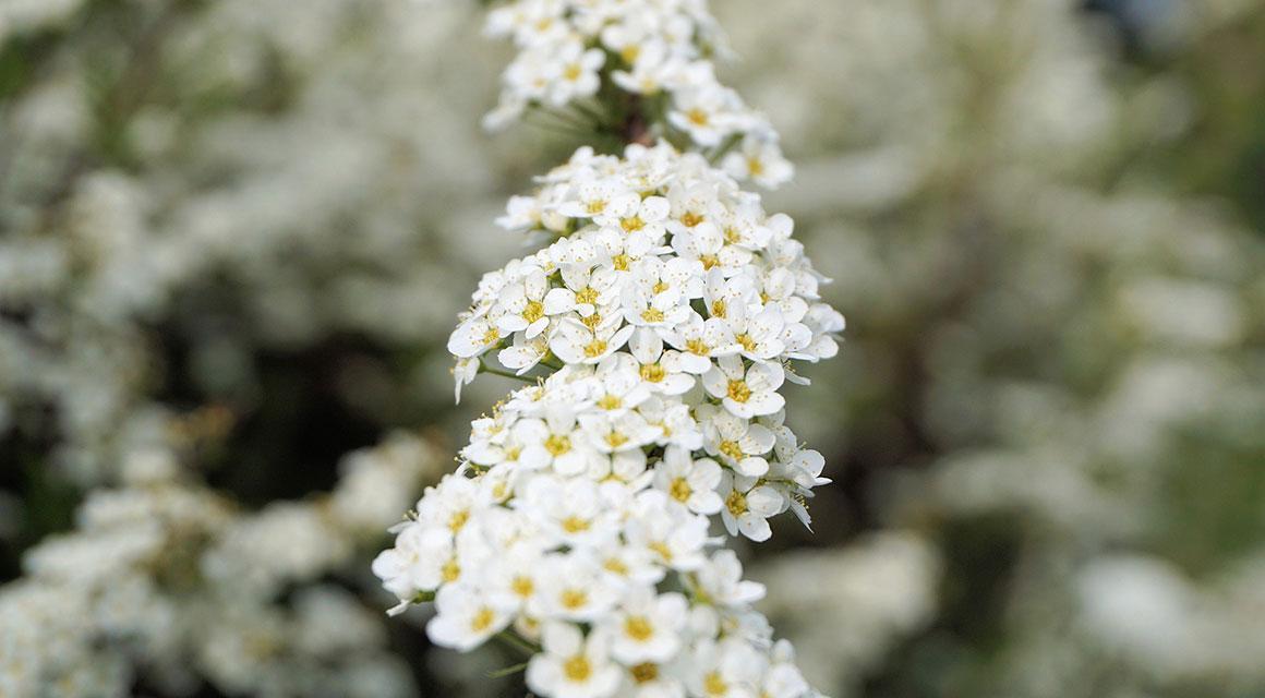 Andere mooie lentebloeiers