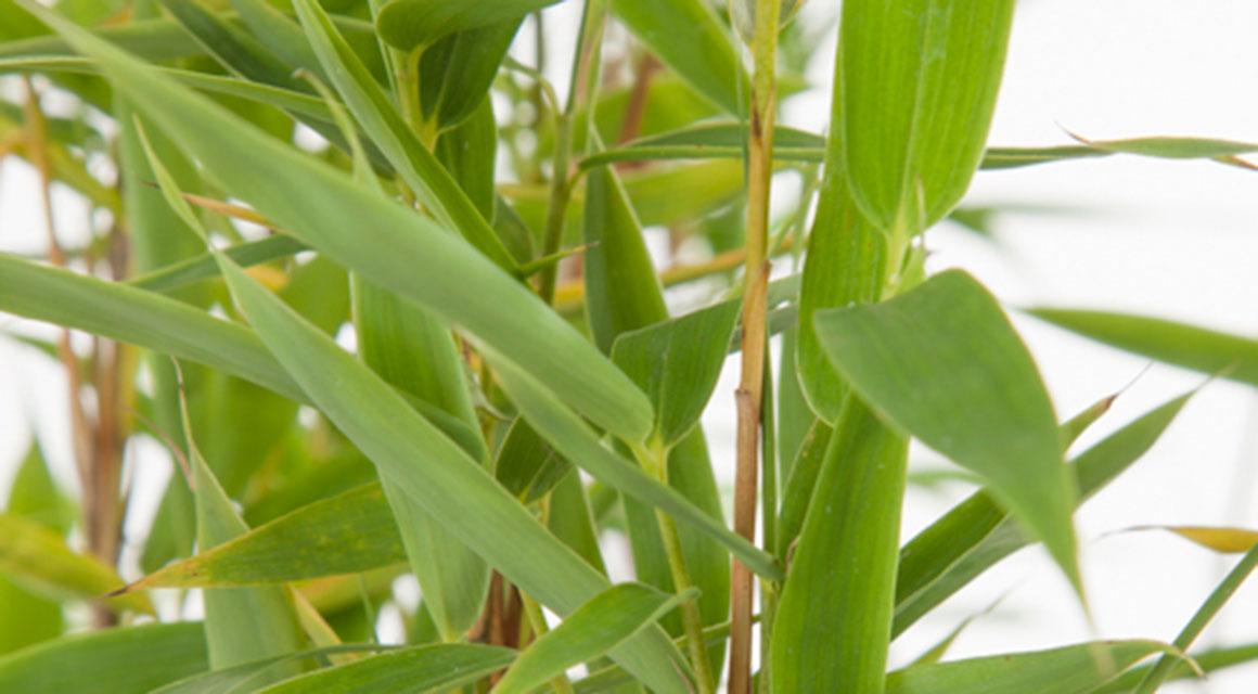 Niet-woekerende bamboe: een zegen voor uw tuin