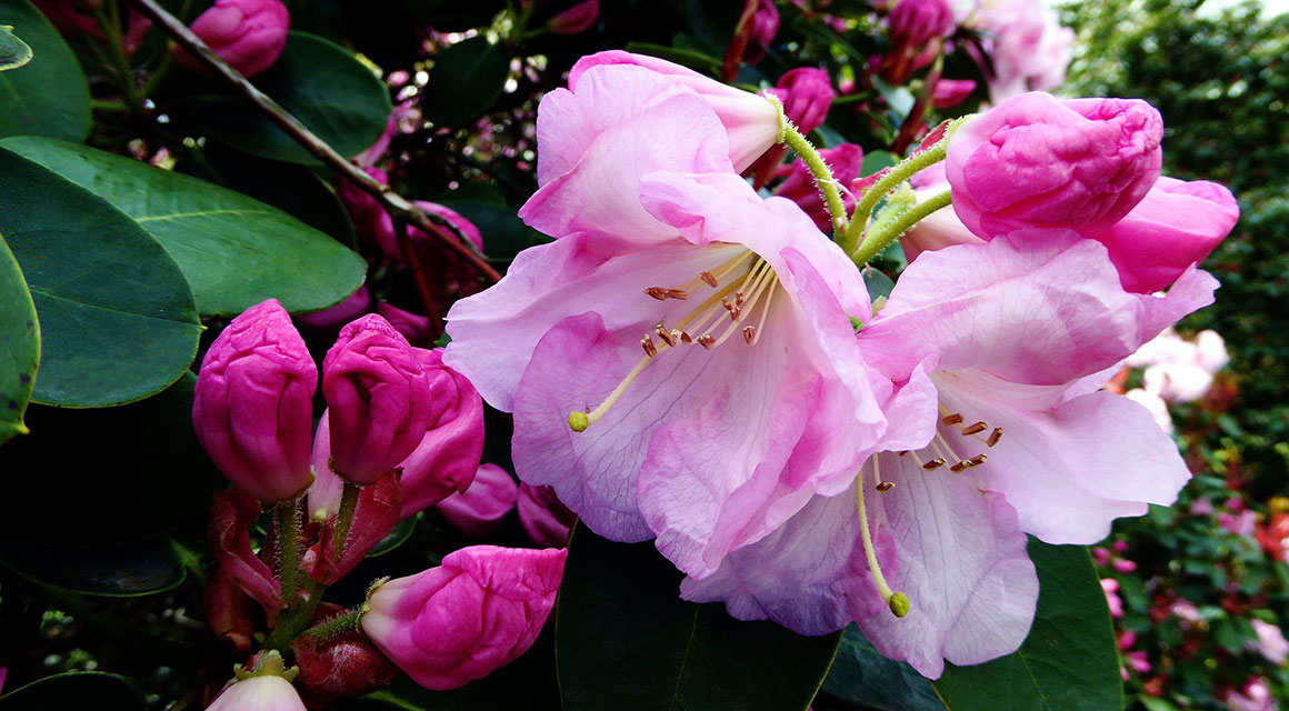Online Rhododendron kopen