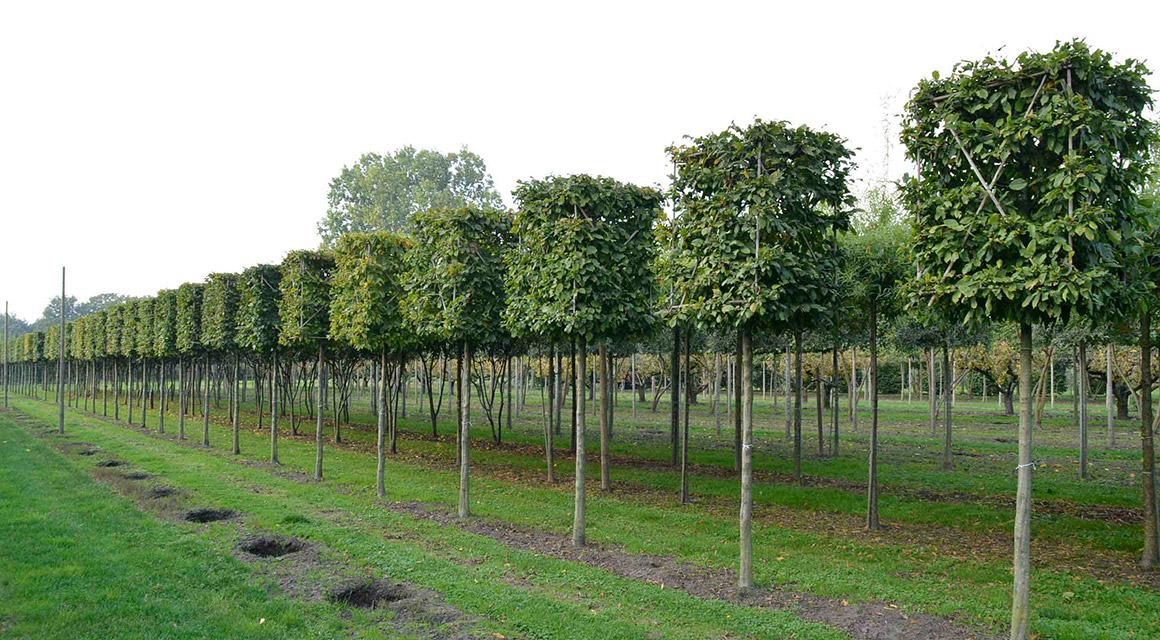 Online Spalierbäume kaufen