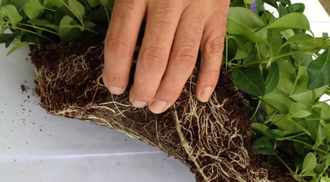Online bodembedekkende planten kopen
