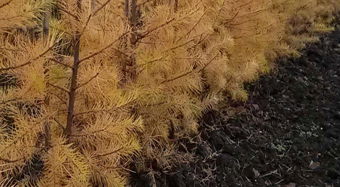 Oude coniferenhaag vervangen