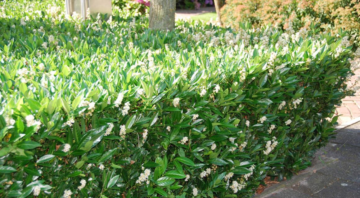 De perfecte laurierhaag voor een kleine tuin. laurier 'Otto Luyken'