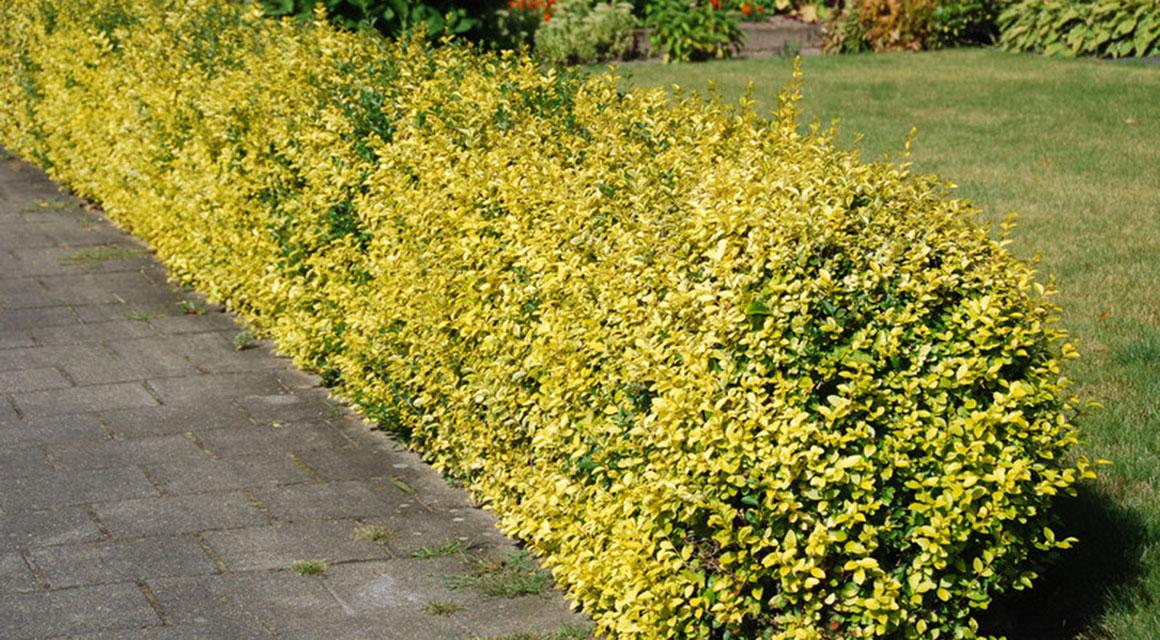 Pflanzen Sie Kriechspindeln als Buchsbaum-Alternative