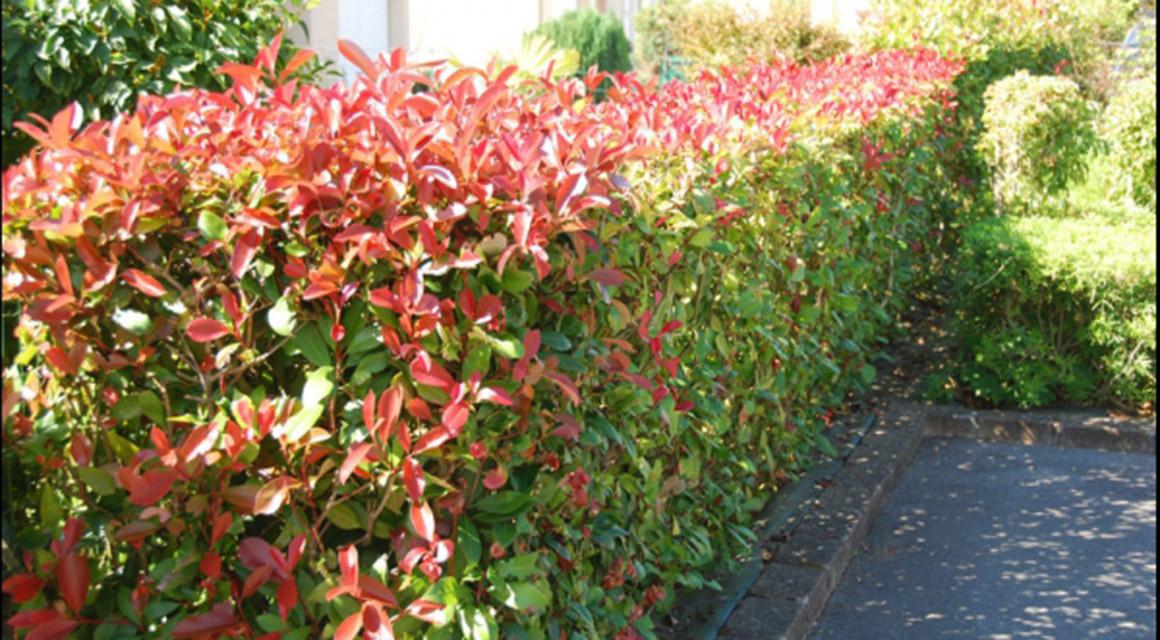 Plant meer wintergroene struiken