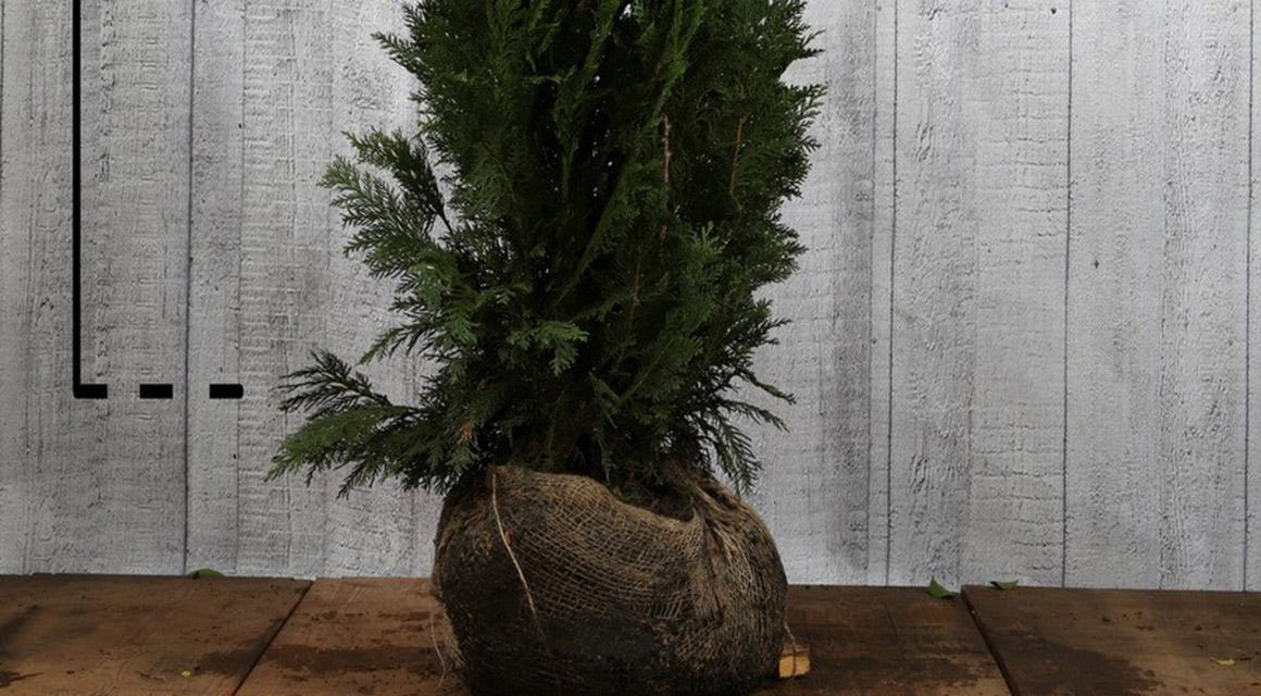 Planten met kluit verplante