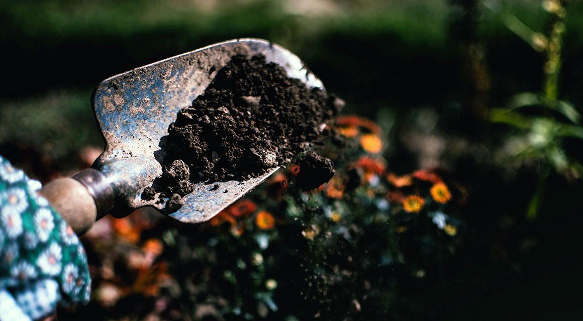 Het planten en verzorging van de taxus als buxusvervanger