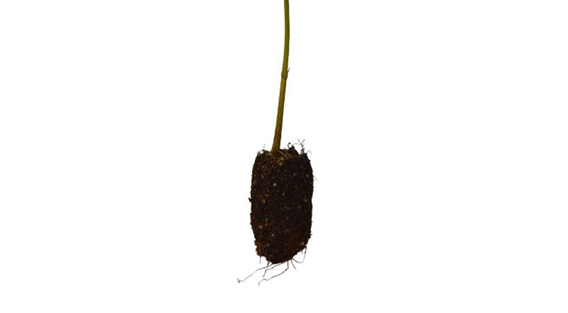 Plugplanten of haagplanten met blote wortel?